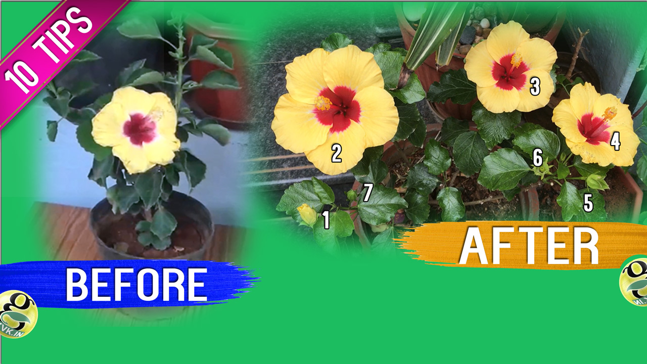 Tips To Boost Flowering In Any Plant Like Hibiscus Or Rose Bloom