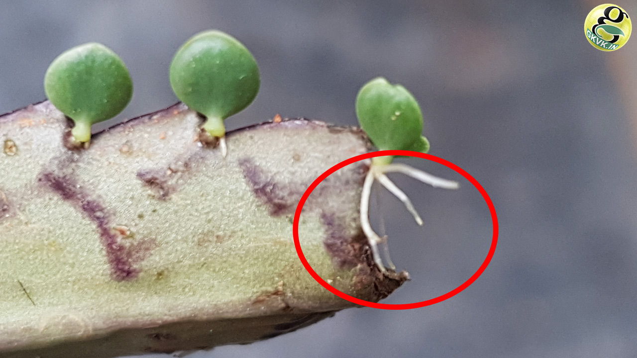 pictures How to Propagate Mother of Thousands from Plantlets