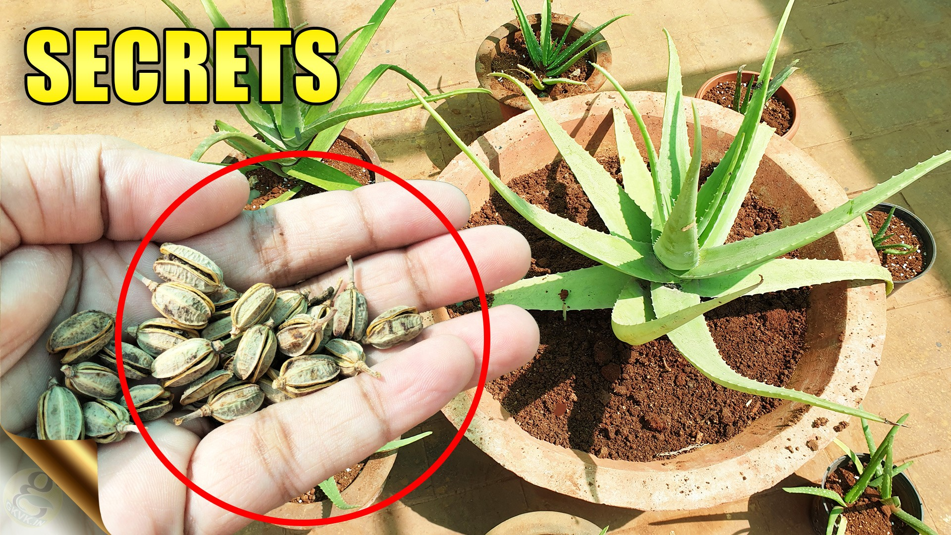 Aloe Vera Plants Secrets Care Tips Do